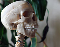 Artificial human skull, a visual aid for biology, medicine. A visual aid for the study of structure of human Royalty Free Stock Photography