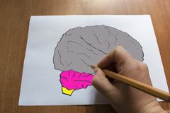 Artificial model of the human brain. Drawn Human Brains Stock Photography