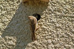 A house sparrow feeds its chick. Artificial nest in a concrete wall. The sparrow feeds the chick. Brown feathers. Gray wall Stock Photography