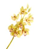 Artificial orchid flower isolated Stock Photography