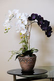 Artificial orchids flowers in old fashion flower pot on glass table. Royalty Free Stock Photo