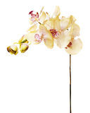 Artificial orchids isolated on white background. Royalty Free Stock Image