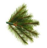 Artificial pine tree branch Stock Photos