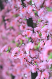 Artificial Pink cherry blossoms (Sakura Flower). Royalty Free Stock Image