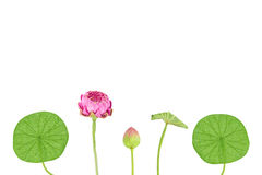Artificial pink lotus  background. Stock Photography