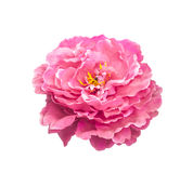 Artificial pink rose flower Royalty Free Stock Photo