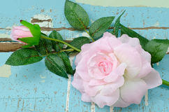 Artificial pink roses on grungy light blue wood Royalty Free Stock Images