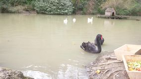 An artificial pond with black swans and geese, with a house on the water. 4k, slow motion stock video footage