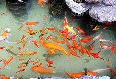 Artificial Pond with Colorful Goldfish Royalty Free Stock Photos