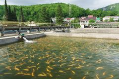 An Artificial pond of trout farm with a Golden amber Adler mica in green running water. Nobody. Adler, Sochi, Russia - may 04, 2019: an Artificial pond of trout royalty free stock images