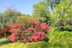Red bougainvillea in manually trimmed bushes, adobe rgb. Artificial pruning thicket in xiamen city, fujian province, china royalty free stock photo