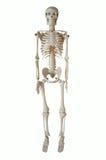 Artificial skeleton Royalty Free Stock Image