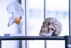 Artificial skeleton such as skull, bone and teeth in colleges and universities laboratory. For teaching, learning, research forensic, anatomy, biology and royalty free stock image
