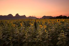 Artificial Sunflowers field on spring wires at sunset Stock Photo