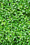 Artificial tiny green leaves texture Royalty Free Stock Images