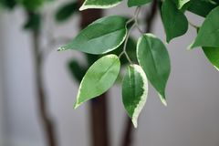 Artificial Tree Used for Home Decoration. Green and white leaves of an artificial home tree. Beautiful yet fake plant used for homedecoration. Photographed with stock photography