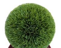 Artificial trimmed boxwood shrub Stock Image