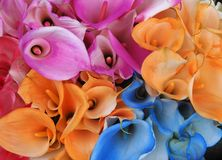 Callalily colofull flower bunch in Honduras. Artificially colored callalily flowers, orange, pink, blue and rose colored Stock Photo