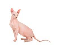Artig nätt naken sfinxkatt som ner sitter Fotografering för Bildbyråer