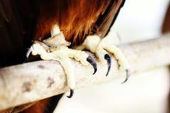 Artigli di sharp del falco Fotografia Stock