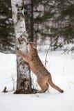 Artigli femminili di concolor del puma del puma all'albero Fotografie Stock Libere da Diritti