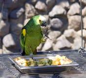 Artigli verdi del becco del nido dell'uccello del lory del pappagallo immagine stock