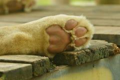 Artiglio bianco del leone Fotografia Stock Libera da Diritti