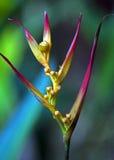 Artiglio d'attaccatura dell'aragosta del fiore Fotografie Stock