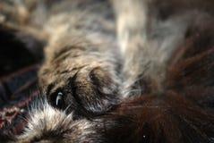 Artiglio di un gatto alla luce solare Immagine Stock
