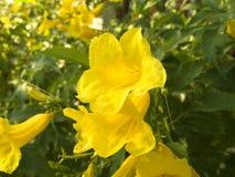 artiglio giallo del gatto del fiore Immagine Stock Libera da Diritti