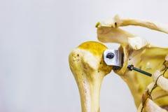 Artikulerade humerusnyckelben- och skulderbladben som visar människan, lämnade anatomi för skuldraskarven i vit bakgrund royaltyfri fotografi