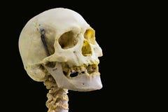 Artikulerade mänskliga skalleben och cervikala kotor för huvud- och halsanatomi i isolerad svart bakgrund med utrymme för text arkivfoton