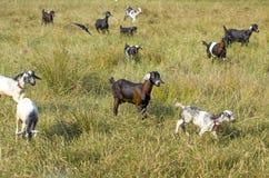 Artiodactyl животных ферма козы на glade Стоковая Фотография