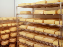 Artisan cheese in cold store, maturing. Royalty Free Stock Image