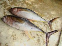 Yellowfin tuna Thunnus albacares freshly landed by the artisanal fishermen in Mindoro, Philippines. Artisanal Filipino fishermen use a variety of fishing gears Royalty Free Stock Images