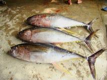 Yellowfin tuna Thunnus albacares freshly landed by the artisanal fishermen in Mindoro, Philippines. Artisanal Filipino fishermen use a variety of fishing gears Stock Images