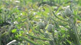 Artischockengemüse in der Anlage in einer landwirtschaftlichen Plantage bereit zum Ernten stock video footage