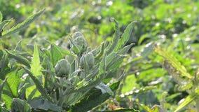 Artischockengemüse in einer landwirtschaftlichen Plantage stock video footage
