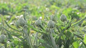 Artischockengemüse in einer landwirtschaftlichen Plantage bereit zum Ernten stock video