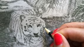Artist Drawing White Bengal Tiger Stock Photos