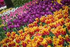 Beautiful garden of many different tulips royalty free stock photography