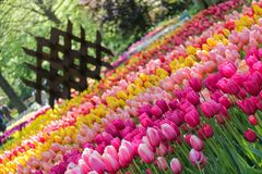 Beautiful garden of many pink and yellow tulips stock photography
