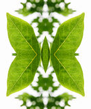 Artistic arrangement of leaves as a butterfly. Artistic arrangement of fresh green leaves as a butterfly with outspread wings formed by mirroring a single leaf Stock Images