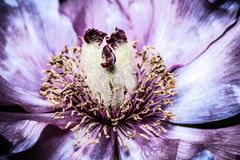 Artistic background for desktop wallpaper. Abstract macro photography. Pink purple flower in dark shades stock photos