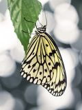 Yellow Butterfly Hanging on Green Leaf with Abstract Background. Artistic background with yellow wings on beautiful butterfly Royalty Free Stock Images