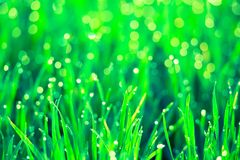 Artistic beautiful image of green grass with dew water droplets early spring morning in the sunlight. Nature concept. Macro image. With selective focus Royalty Free Stock Image