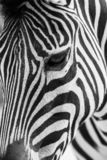 Artistic black and white closeup portrait of a zebra - emphasized graphical pattern. stock images