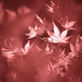 Artistic blurred marsala color autumn leaves background Royalty Free Stock Photos