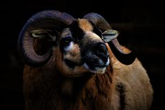 Artistic close up of a muflon head with his horns royalty free stock images