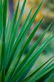 Artistic closeup of Yuca plant with long sharp leafs and beautiful yellow bokeh, Italy, Europe Royalty Free Stock Images